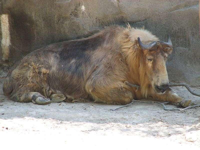 Photo d'un takin. © Ltshears, Wikipédia, domaine public