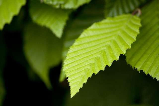 L'efficacité de la photosynthèse, processus réalisé par les plantes et algues vertes, avait été sous-estimée. © MaxLeMans, Flickr, cc by 2.0
