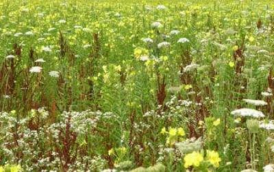 Anurag Agrawal a utilisé 16 champs d'onagres biannuelles durant ses expériences. À chaque printemps, lorsque les chenilles de momphidés se développaient, 8 parcelles ont été aspergées avec des insecticides toutes les 2 semaines. Les plantes se sont mieux développées, mais elles ont perdu leurs protections contre les insectes en seulement 3 à 4 générations. © Anurag Agrawal