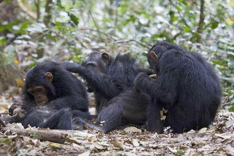 Les chimpanzés du parc Gombe Stream font l'objet d'études menées par l'Institut Jane Goodall. © Ikiwaner, Wikimedia Commons, GNU FDL 1.2