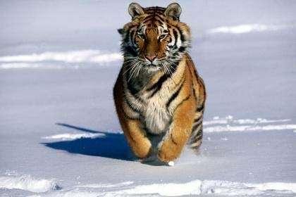 © www.cybcity.comLe tigre de Sybérie, une force de la Nature