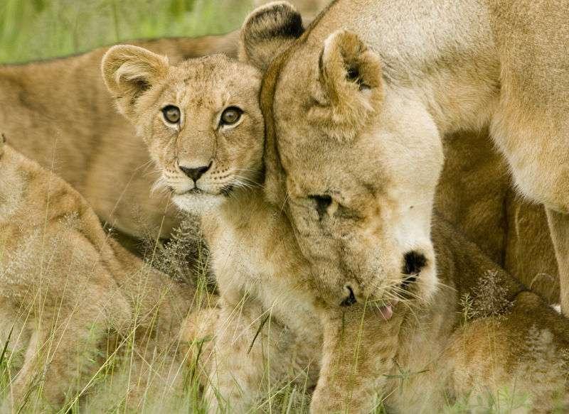 Chez les lions, un seul mâle suffit à avoir le pouvoir sur une dizaine de femelles. Pour s'assurer plus de petits-enfants, les mammifères peuvent donner naissance à de plus nombreux petits d'un sexe au détriment de l'autre. © Davis Dennis, Wikipédia, cc by sa 2.0