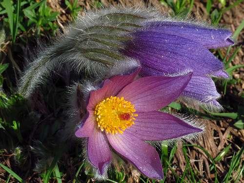 La pulsatille des montagnes Pulsatilla montana est une fleur patrimoniale des Alpes bien qu'elle ne soit pas protégée. © Denis Vailhé CC by-nc-sa 2.0