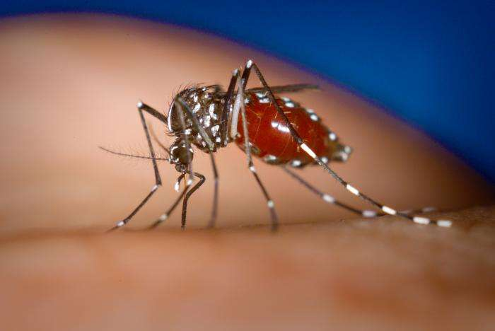 Une femelle de moustique Aedes (Aedes albopictus) en plein repas. Cette modeste prise de sang pourrait être inoffensive mais l'insecte injecte au préalable de la salive contenant un anti-coagulant, ce qui facilite le pompage. Outre que cet additif provoque une réaction immunitaire causant des démangeaisons, la salive peut transporter un parasite, comme le plasmodium (l'agent du paludisme par exemple) ou un virus (cas de la dengue et du chikungunya). © James Gathany / Licence Commons