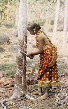 Le latex présent dans les vaisseaux laticifères des hévéas est exploité depuis de nombreuses années. Cette photographie a par exemple été prise en 1920 au Sri Lanka. © Wikimedia common, DP