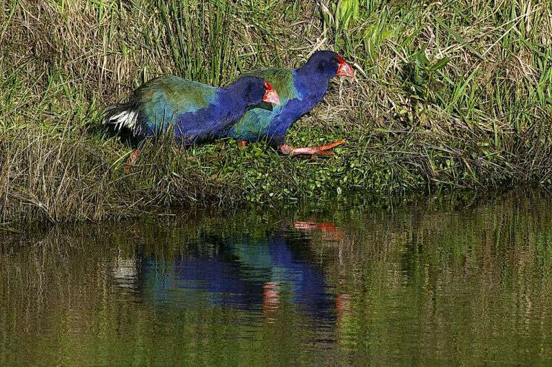 Photo de takahés. © Maungatautari Ecological Island Trust, domaine public