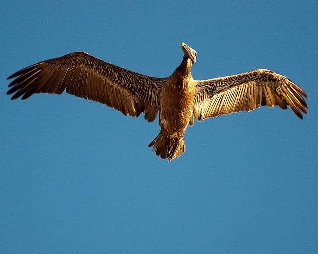 La présence de plumes est une apomorphie chez l'oiseau, par rapport à ses ancêtres. © petespande, Flickr, cc by nc 2.0