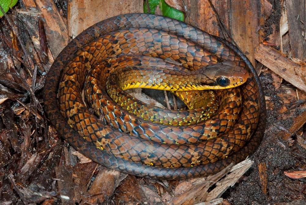 Ce serpent Chironius challenger est une des 441 espèces qui ont été découvertes en Amazonie ces 4 dernières années (sans tenir compte des invertébrés). Il a été trouvé en 2010 par Philippe Kok, un herpétologiste de l'Institut royal des sciences naturelles de Belgique. © Philippe Kok