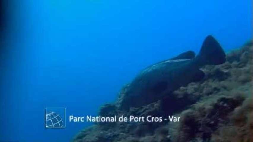 Comptage des mérous bruns de Port-Cros