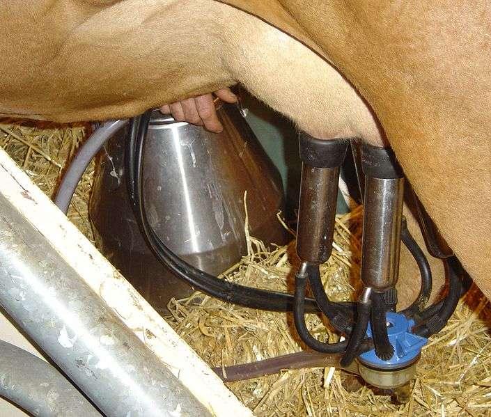 La machine à traire permet d'extraire le lait des pis d'une vache de manière automatique. © David Monniaux, CC BY-SA 2.0, Wikimédia Commons