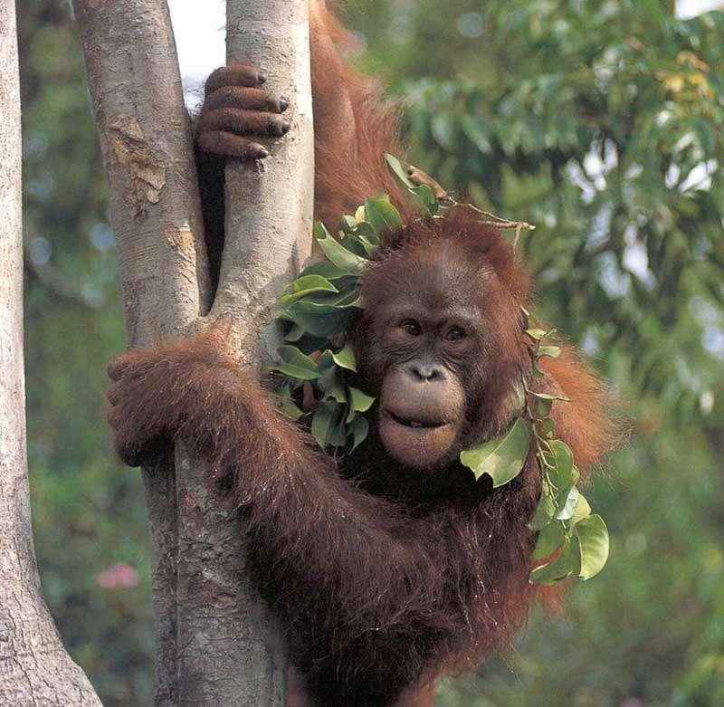 Un jeune orang-outan, la plus grande espèce de primate arboricole, au mode de vie discret et solitaire. (Pongo pygmaeus). Photo extraite de notre galerie sur les grands singes.