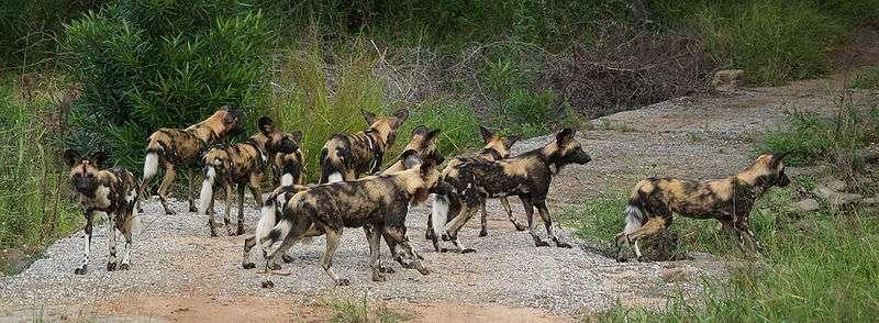 Photos de lycaons (Kruger National Park)© Bart Swanson - GNU FDL Version 1.2