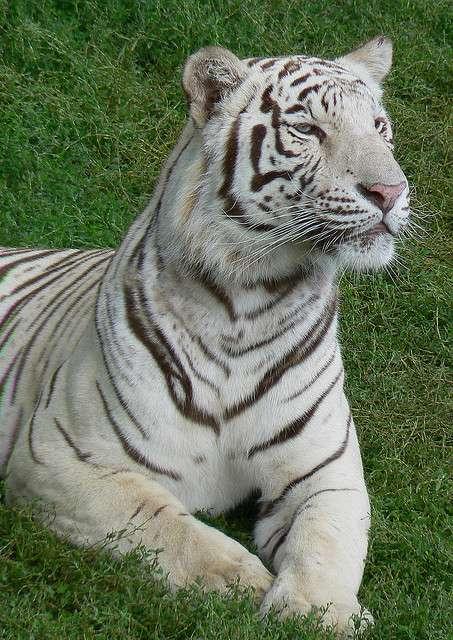 S'il y a plus de tigres albinos dans les zoos, c'est une conséquence de l'endogamie forcée entre animaux en captivité. © Eddy Van 3000 CC by-sa 2.0