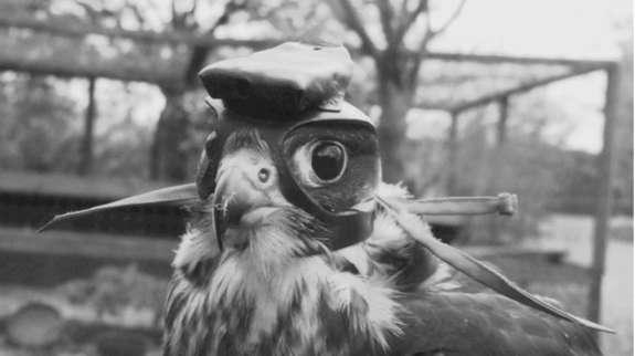 Ce faucon est équipé d'une caméra miniature posée sur un petit équipement de cuir, spécialement conçu pour lui. © Suzanne Kane, Haverford College