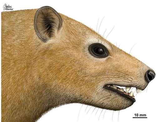 D'après les paléontologues qui ont trouvé son crâne, Ocepeia, le petit mammifère africain, n'était pas plus gros qu'un daman et pesait environ 3 kilos. © Charlène Letenneur