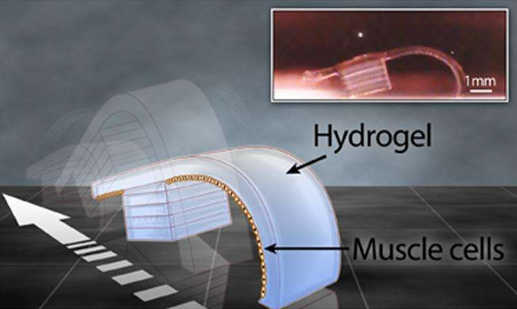 Représentation du robot biologique développé par Vincent Chan. Ses mouvements sont générés par des cellules musculaires (muscle cells) provenant du cœur d'un embryon de rat, plus précisément de ses ventricules. Elles sont situées sous une couche d'hydrogel. © Elise A. Corbin