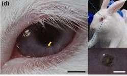 Les chercheurs coréens ont testé leurs lentilles à Led sur des lapins dont la taille des yeux est proche de celle des humains. Les cobayes les ont portées durant cinq heures sans montrer de signes de gêne ni d'irritation. © Ulsan National Institute of Science and Technology