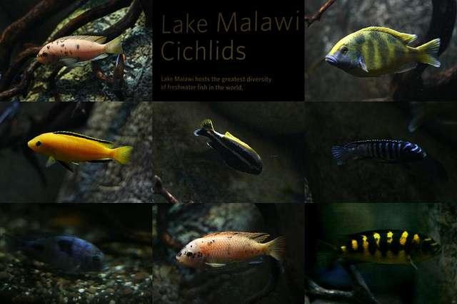 Illustration de la spéciation sympatrique chez les cichlidés du lac Malawi. © Jenly CC by-sa 2.0