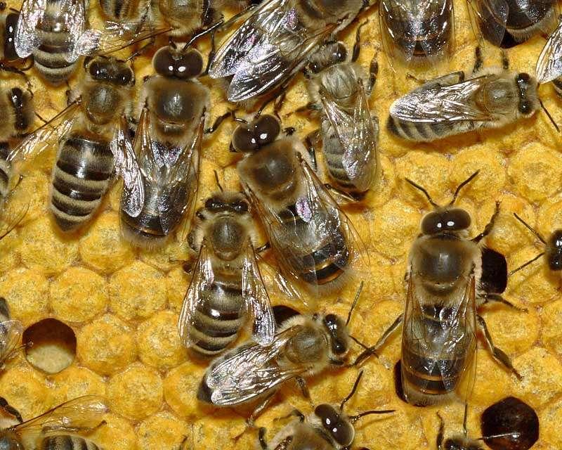 Rayons de miel. Source Commons