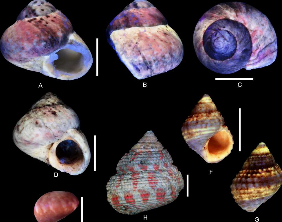 Gastéropodes de l'Oxfordien de Cordebugle (Calvados) observées en ultraviolet. La fluorescence trahit des structures colorées. A, B, C, D, F, G ont pour taille celle donnée par les barres qui mesurent 5 mm. © Bruno Caze, Didier Merle, Simon Schneider, Plos One