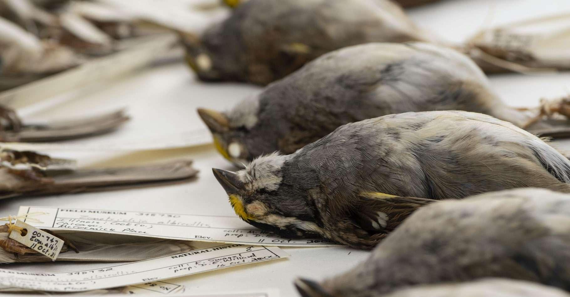 Des chercheurs de l'université du Michigan (États-Unis) ont scrupuleusement mesuré, pendant près de 40 ans, la taille d'oiseaux morts après s'être heurtés à des buildings à Chicago. © Roger Hart, University of Michigan Photography