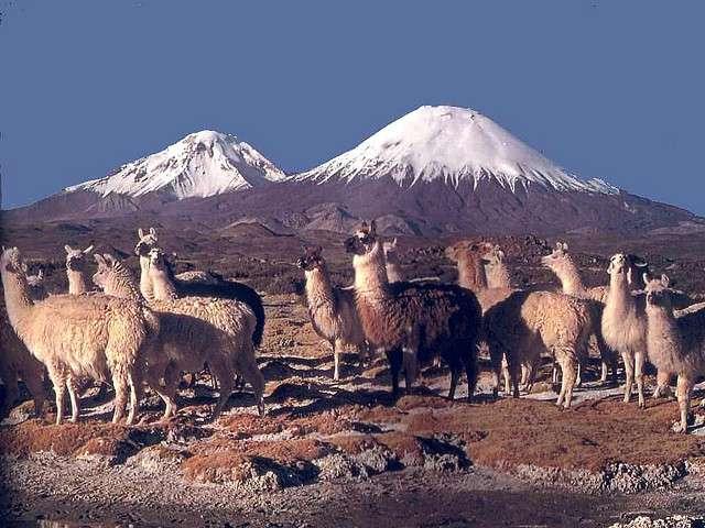 Sans le savoir, les lamas ont aidé les Incas à cultiver le maïs, et, en conséquence, à bâtir leur empire. © flickrfavorites/Flickr - Licence Creative Commons (by-nc-sa 2.0)