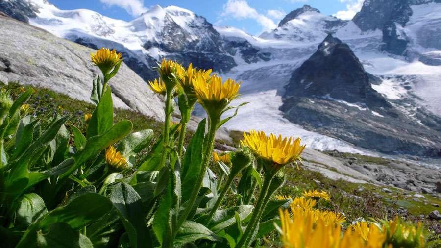 Dans les Alpes suisses, les plantes, comme la Doronicum clusii à l'image, se déplacent vers le haut en raison de la hausse des températures. © Jörg Schmill, Université de Bâle