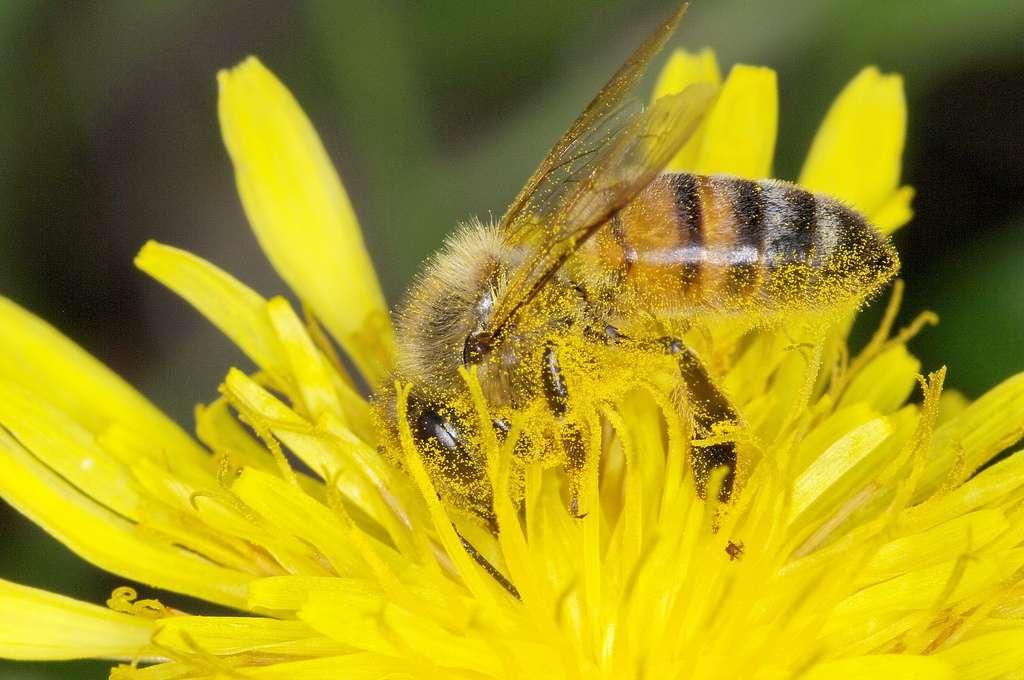 Les populations d'abeilles diminuent tant dans les pays européens qu'en Amérique du Nord et en Asie. Cette baisse connaît une vive accélération depuis le début des années 1990, en raison de l'utilisation de produits phytosanitaires, d'infections parasitaires (avec en tête de liste la verroase) et de l'apparition d'un redoutable prédateur, le frelon asiatique. © Jean-Raphaël Guillaumin, Flickr, cc by sa 2.0