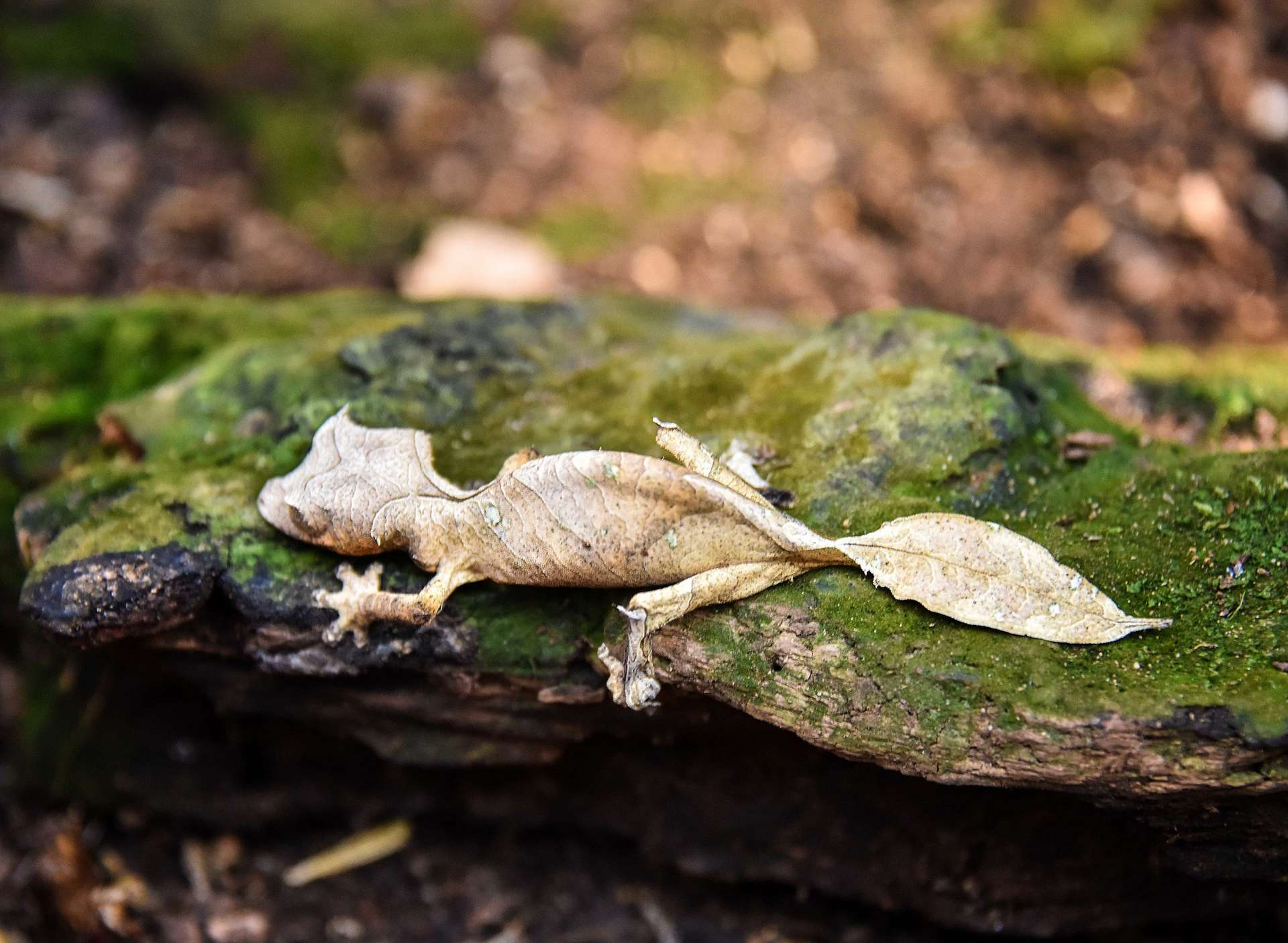 Un Uroplatus phantasticus dans la forêt humide de Madagascar. © Rod Waddington, CC by-sa 2.0