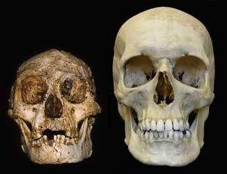 Le crâne d'Homo floresiensis comparé à celui d'un homme moderne. (Peter Brown)