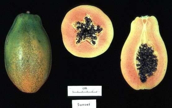 La papaye est un fruit imposant, mais peu calorique. © DR