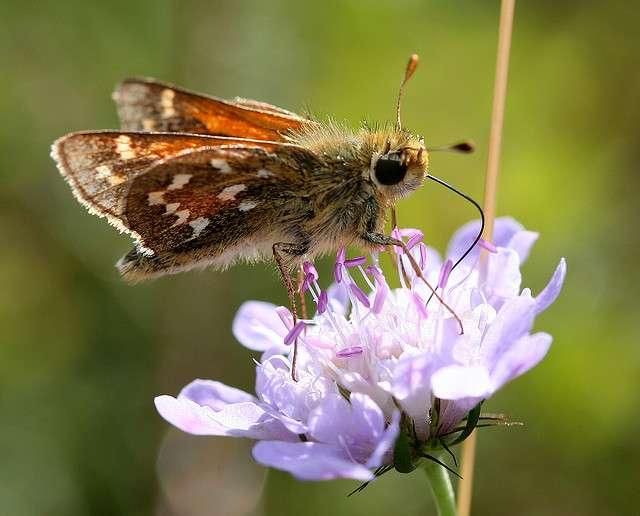 Le papillon comma (Hesperia comma) est une des espèces dont l'aire de répartition s'est déplacée le plus rapidement : 220 km vers le nord au cours de ces vingt dernières années. © Dr Strange Ones, Flickr, CC by-nc-nd 2.0