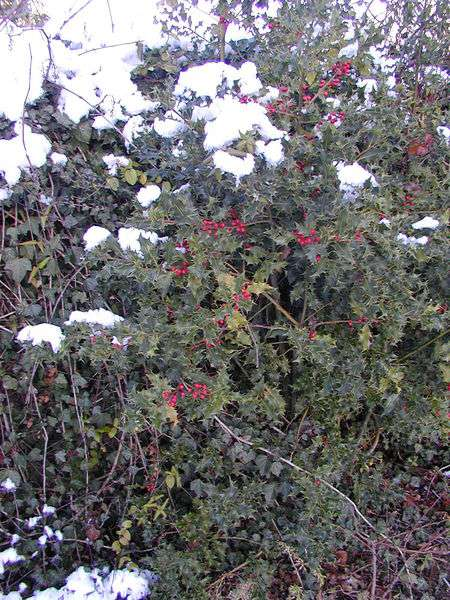 Le houx (Ilex aquifolium) est un arbuste sempervirent. © Semnoz, Wikimedia CC by-sa 3.0