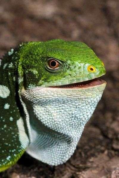 Le sourire de ce Brachylophus bulabula lui portera-t-il bonheur ? Crédit : US Geological Survey & prof. Robert Fisher