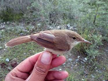 Voici l'oiseau qui jusqu'à peu était le moins connu du monde : la rousserolle à grand bec (Acrocephalus orinus). © WCS Afghanistan