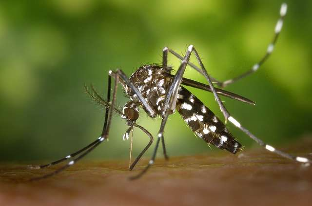 Le moustique-tigre est reconnaissable par les rayures blanches sur son corps noir et sur ses pattes. © Domaine public