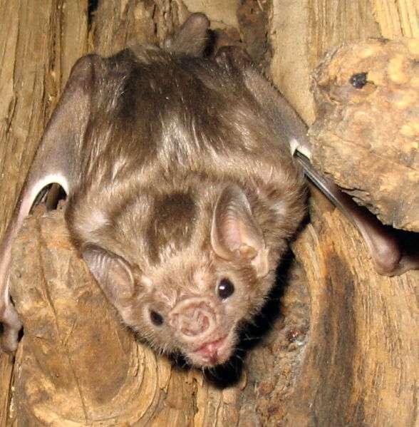 Diaemus youngi, ou vampire à ailes blanches, est l'une des trois espèces de chauve-souris d'Amérique centrale et du Sud consommatrice exclusive de sang d'oiseaux et de mammifères (et rarement d'humains), avec Diphylla ecaudata, dite vampire à pattes velues et Desmodus rotundus, dite vampire commun. © Gcarter2, Wikimedia Commons, cc by sa 2.5