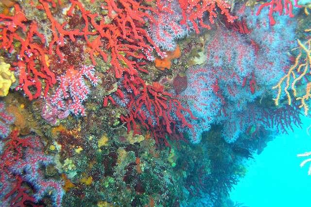 Le milieu des récifs coralliens est très pauvre en nutriments. Cette oligotrophie est la cause de l'incroyable diversité biologique qui s'y est développée. © Ian Robertson CC by-nc 2.0
