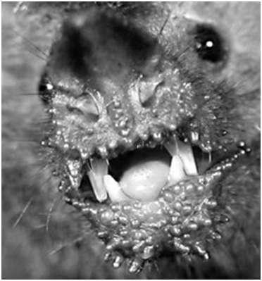Trachops cirrhosus possède de gros tubercules sur le menton et les lèvres. Certains scientifiques supposent qu'ils servent de chémorécepteurs, utilisés pour juger la toxicité des proies. Dans l'étude de Rachel Page, aucun mouvement de frottement de ces structures sur des proies n'a été observé, remettant donc leur rôle en doute. © Rachel Page et al. 2012, Naturwissenschafte
