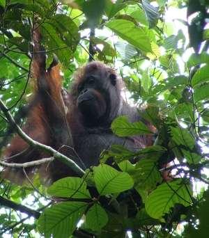 Orang-outan femelle de la Kinabatangan, Sabah, Malaisie. © Jamil Sinyor