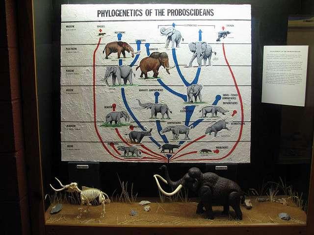 L'arbre phylogénétique des Proboscidiens, l'ordre des éléphants. © hairymuseummatt CC by-sa 2.0
