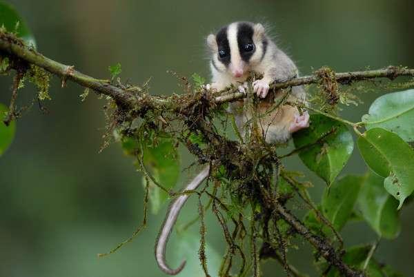 Ce phalanger, du genre Distoechurus, est un petit marsupial endémique de la Nouvelle Guinée et est déjà connu, mais son espèce n'a pas encore été décrite. Celui-ci, surpris dans les monts Muller, à 1.600 mètres d'altitude, s'est aventuré près des pièges lumineux installés par les entomologistes pour attirer les insectes. © CI / Stephen Richards