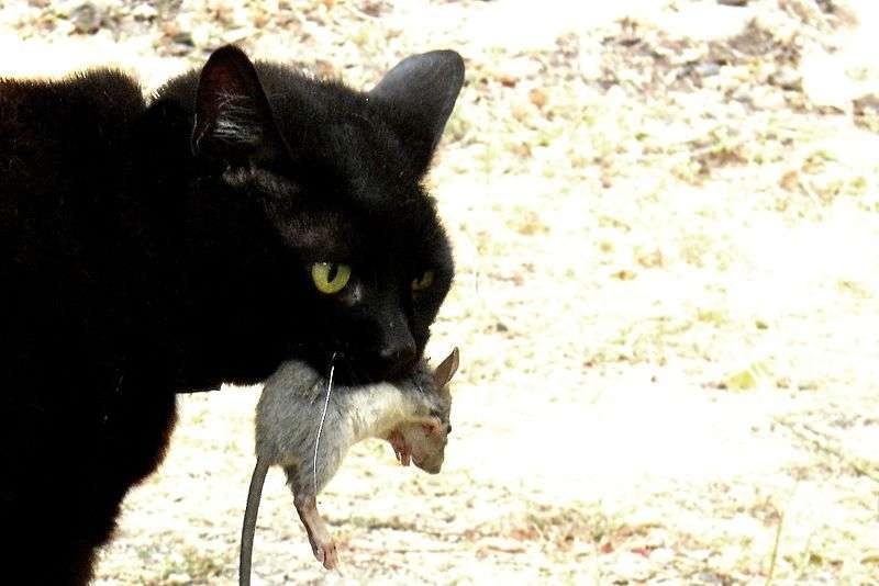 Les chats sont de vieux amis de l'Homme. Voilà plus de 5.000 ans, en échange du confort des habitations humaines, les félins protégeaient les cultures des rongeurs, qu'ils savent si bien chasser. © Yintan, Wikipédia, cc by sa 3.0