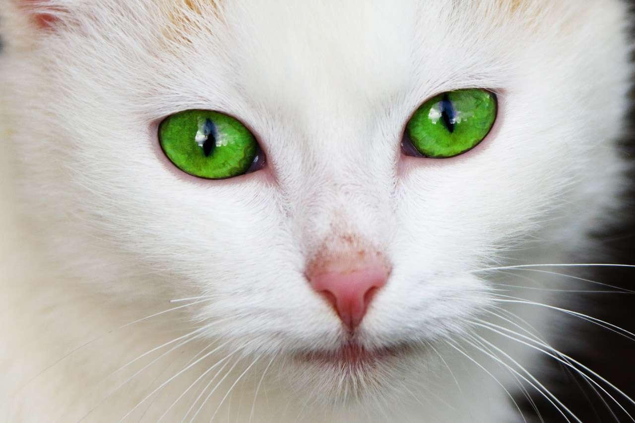Bien malgré eux, les chats sont à l'origine d'allergies pour leurs maîtres ou leurs invités. Maintenant que les mécanismes de cette réaction spécifique ont été élucidés, on peut croire en un traitement futur. © Vera Kratochvil, wwww.publicdomainpictures.net, DP