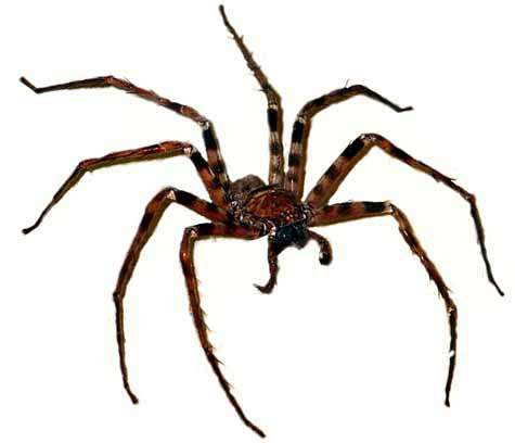 Heteropoda maxima, à présent la plus grande araignée du monde. Crédit WWF