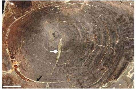 Coupe de tronc de conifère fossilisé ayant permis la découverte de molécules organiques fossilisées pratiquement intactes.