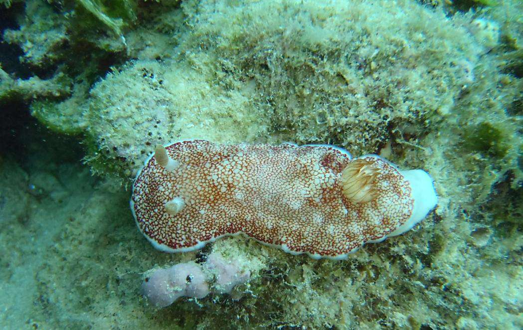 Chromodoris reticulata vit dans l'ouest du Pacifique ainsi que dans l'océan Indien. Ce nudibranche, un mollusque marin hermaphrodite, peut atteindre six centimètres de long, se nourrit d'éponges et se reproduit au printemps et au tout début de l'été. © Sekizawa et al., Biology Letters, 2013