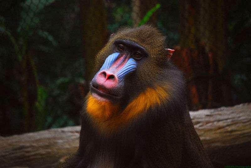 Photo d'un mandrill. © matt sabbath, CC by 2.0
