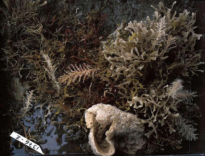 Communauté d'organismes benthiques : algues, bryozoaires, éponges, ophiures, etc. © Hannes Grobe/AWI, Wikimedia CC by 3.0