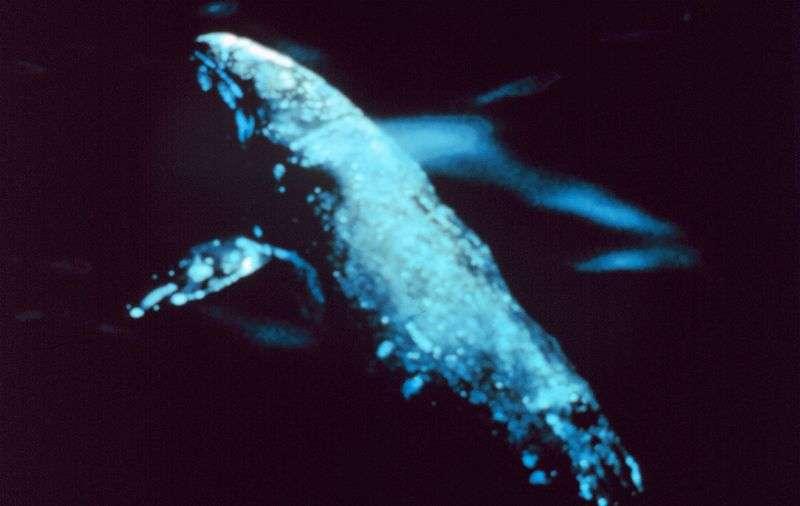 La baleine grise (Eschrichtius robustus) vit en Arctique, mais descend dans le Pacifique nord pour se reproduire. Elle n'avait jamais été observée dans l'hémisphère sud, jusqu'au 4 mai 2013 où elle a été vue au large de la Namibie. © NOAA